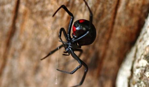 Черная вдова паук. Внешний вид и особенности