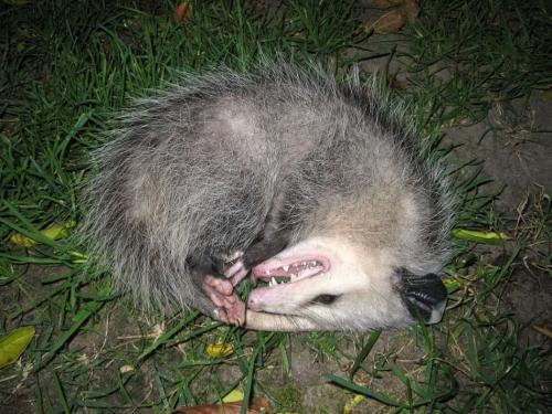 Животные которые притворяются мертвыми. Могут ли животные притворяться?