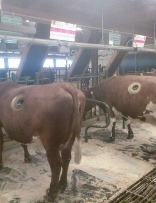 Дырка в животе. Коровий свищ - огромные дырки в животе коровы.