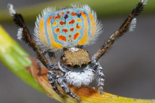 Леопардовый паук - павлин (Maratus Pardus), Австралия.