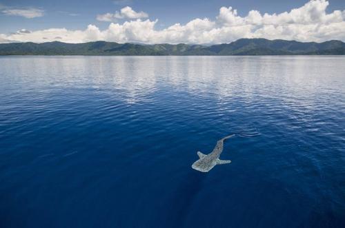 Китовые акулы интересные факты. Заплыв с китовой акулой.