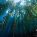 В будущем фермеры перейдут на выращивание устриц, мидий, съедобных моллюсков и водорослей на канатах, прикрепленных якорями к морскому дну.