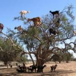В марокко можно стать свидетелем уникальной картины: козы на дереве.