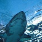 У акул обнаружены признаки личности.