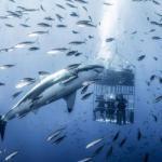 Фотограф снял огромную белую акулу, которая кружит вокруг клетки с дайверами.