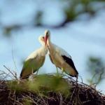 Удивительная история любви одной пары аистов.