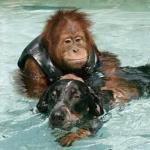 После смерти родителей трехлетний орангутан впал в тяжелую депрессию, перестал есть и не поддавался даже лечению антидепрессантами.