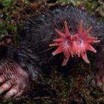 Звездонос. Крот, живущий в северной Америке, поражает своим необычным мясистым носом.