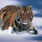 Самый большой представитель семейства кошачьих - не лев, а амурский тигр.