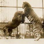 Таким образом, если подерутся лев и тигр, вероятнее всего, победит тигр.