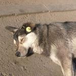 """""""Уважаемые граждане России, в ближайшие дни на улицах начнут появляться бездомные собаки с ярко-желтыми бирками на правом ухе."""