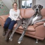 Самая большая собака туманного альбиона.