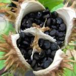 """Цветок смеха.   На аравийском полуострове и в юго-западной Азии есть растение, которое называют """"Цветком Смеха""""."""