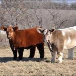 Плюшевые красавицы - коровы из айовы.