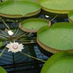 Самое большое цветковое растение на Земле.