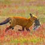 Зообитва года: эпичное сражение орлана и лисы за обед.