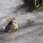 Удивительная картина: в северной Каролине аллигаторы вмёрзли в лёд, оставив на поверхности только морды.