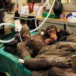 Детеныш шимпанзе растрогал врачей, которые делали операцию его маме.