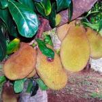 """В западной Африке произрастает самое сладкое растение - кустарник """"Кетемф"""", содержащий вещество тоуматин."""