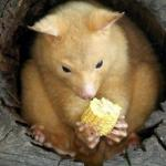 Кузу - очаровательный лесной зверек родом из Австралии.