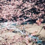 В японском поселении кавадзу зацвела сакура.