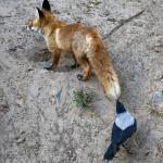 Вороны троллят других животных, дергая их за хвосты.