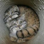 Манулы, или паллассовы коты.