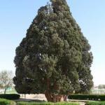 Этот кипарис - долгожитель находится в абаркухе (Abarkooh), Иран.
