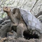 Абингдонская слоновая черепаха одинокий Джордж.
