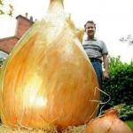Вес самой тяжелой в мире луковицы составил 8, 5 килограмма.